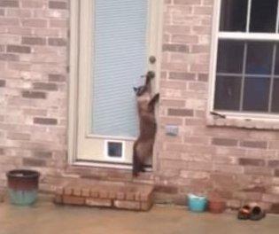 Cat ignores pet door, turns handle to enter house