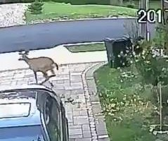 Clumsy deer takes out New York man's blooming tree