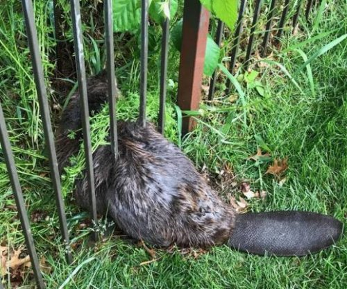 Firefighters rescue beaver wedged between bars of metal fence