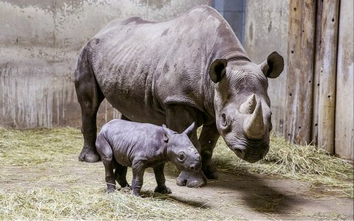 Dallas Safari Club auctioning chance to shoot endangered rhino