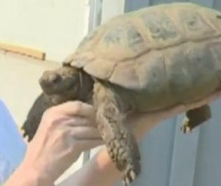 100-year-old tortoise walks 6.5 miles for romance with plastic dome