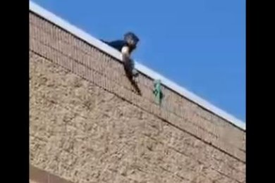 Wandering iguana climbs outside wall of New York state Target