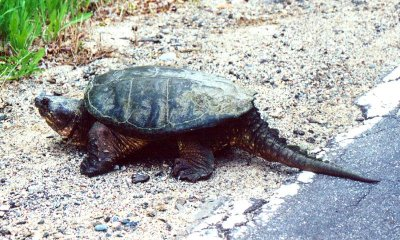 FWS proposes protections for four new freshwater turtle species