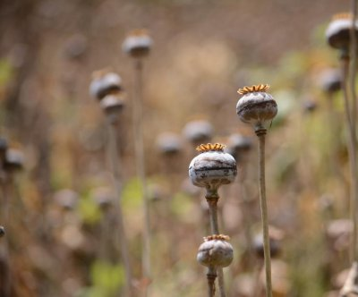 Opium legalization favored by Mexico