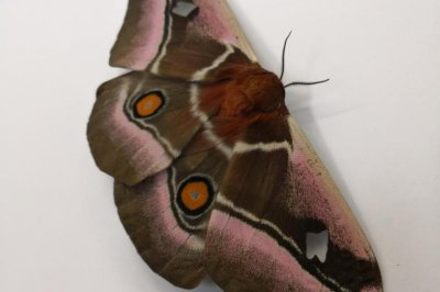 Sound-absorbing fur helps moths avoid bat predation