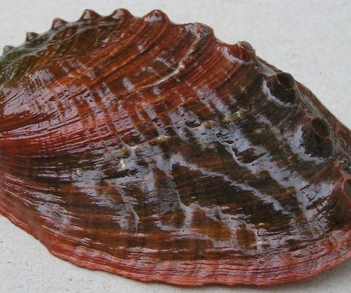 NOAA declines to list pinto abalone as endangered