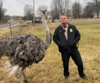 Police wrangle loose ostrich on Missouri road