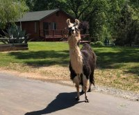 Loose llama or alpaca found running on California highway