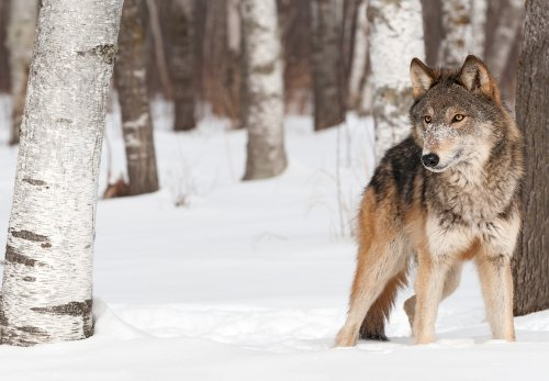 Endangered gray wolf may have been sighted at Grand Canyon