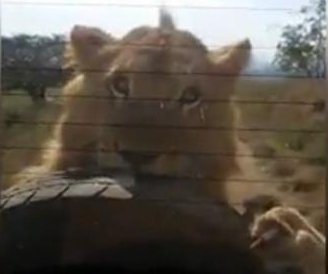 Lion chases safari vehicle, attacks spare tire