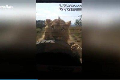 Lion chases safari vehicle, attacks spare tire