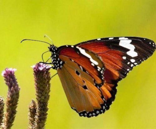 Male-killing bacteria explains color variability among monarch butterflies