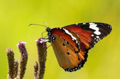 Male-killing bacteria explains color variability among monarch butterflies
