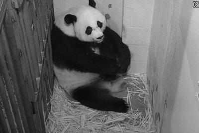 Giant panda gives birth at Smithsonian's National Zoo