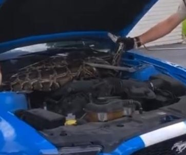 Large Burmese python found under hood of car in Florida