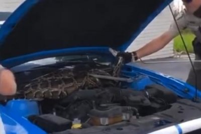 Large Burmese python found under hood of car in Florida