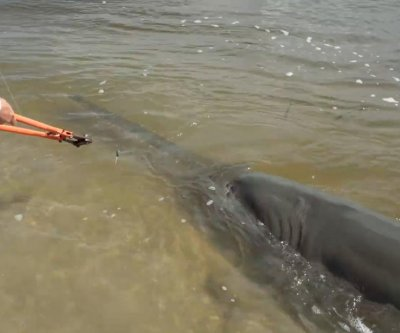 17-foot endangered sawfish caught in Florida