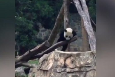 National Zoo's giant panda cub takes a tumble in climbing incident