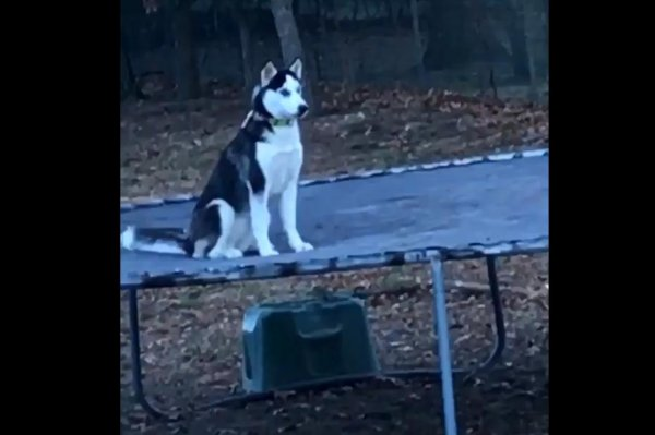 Watch Dog Lives Its Best Life On Trampoline Acts Coy For