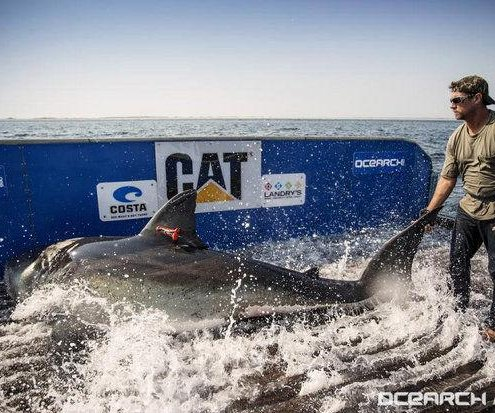 Katherine, the tagged great white shark, returns to Florida
