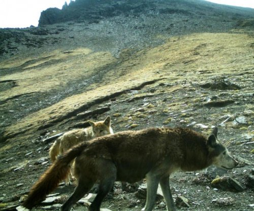 Study: Himalayan wolf in desperate need of protections