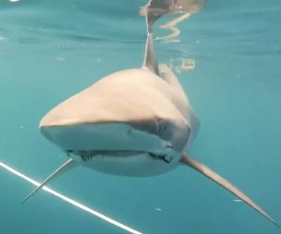 Diver records encounter with friendly silky sharks in Florida