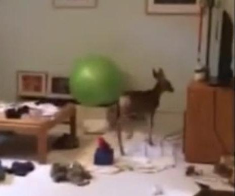 Officers rescue fawn that crashed through house window