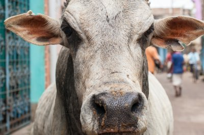Beef outlawed in Indian state; violators get prison time, fine