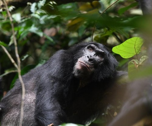 Bonobo moms help their sons secure mating opportunities