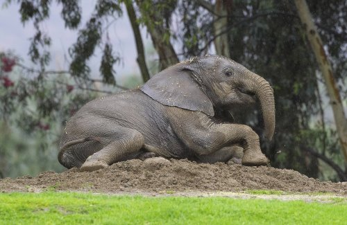 Study: elephants have biggest, most discerning nose of all mammals