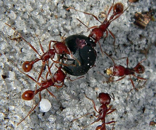 Lazy ants slack off while their comrades work extra hard