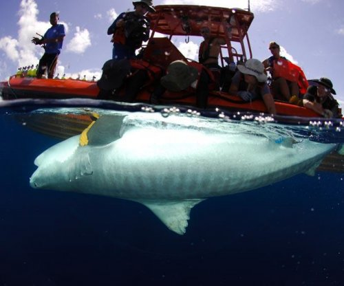 Researchers tracking tiger sharks in Hawaii after spate of attacks