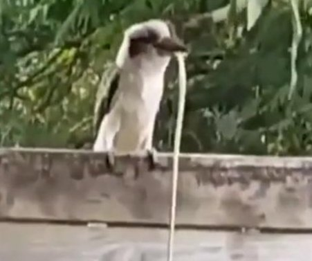 Kookaburra defeats snake in unusual backyard battle