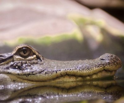 Caiman spotted swimming in Michigan school's pond