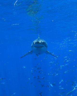 Great white shark attempts to bite boat engine off Australian coast