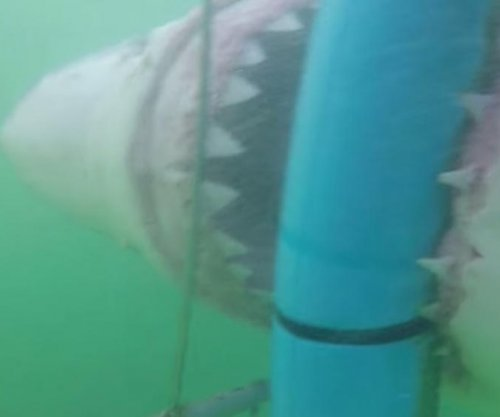 Great white shark attacks underwater cage with diver inside
