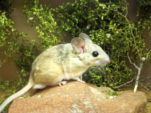 Special gut bacteria help woodrats survive on poisonous plants