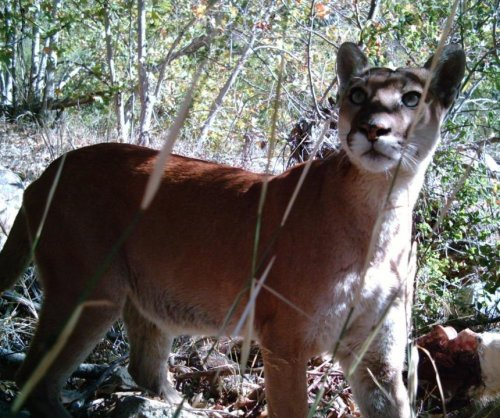Humans are the biggest threat to California mountain lions