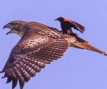 Blackbird rides on hawk's back in photo from wildlife refuge