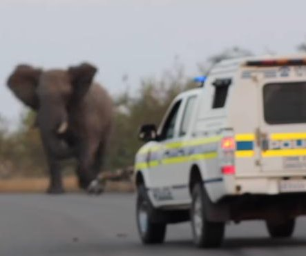 Elephant chases wild dogs, intimidates police in South Africa