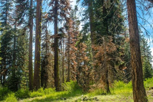 Some trees make droughts worse, study says