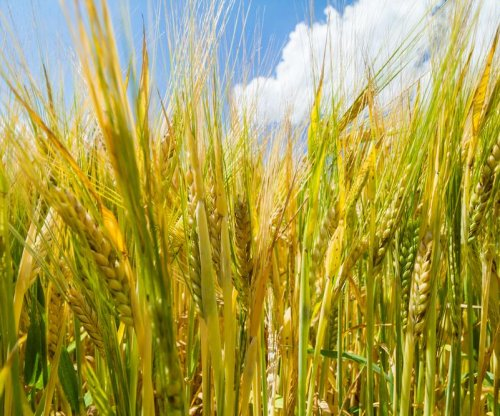 Wheat can cause immune response in people without Celiac disease, study says