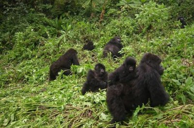 Mountain gorillas friendly with neighbors outside of core home ranges