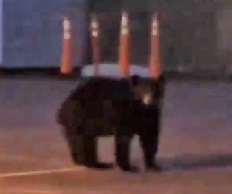 Bears visit to California sheriff's station