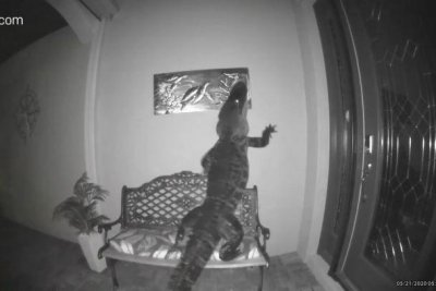 Doorbell camera records alligator climbing bench to reach turtle plaque