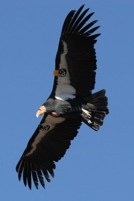 Endangered California condors' social structure is survival tool