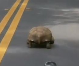 Deputy shares video of slow-speed tortoise chase