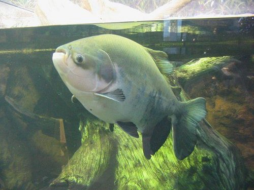 Woman catches piranha cousin in Detroit-area lake