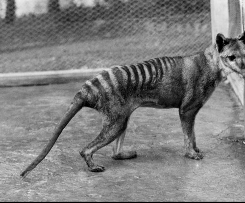 Considered extinct, Tasmanian tigers may be alive and kicking