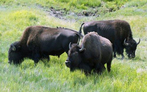 Evolutionary clues in ancient bison bones